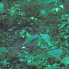 Plant form: Persicaria virginiana. ~ By Frank Bramley. ~ Copyright © 2021 New England Wild Flower Society. ~ Image Request, images[at]newenglandwild.org