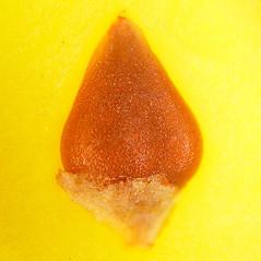 Fruits: Polygonum achoreum. ~ By Arthur Haines. ~ Copyright © 2020. ~ arthurhaines[at]wildblue.net