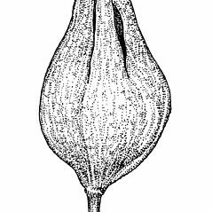 Fruits: Polygonum achoreum. ~ By Elizabeth Farnsworth. ~ Copyright © 2020 New England Wild Flower Society. ~ Image Request, images[at]newenglandwild.org