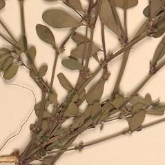 Stems: Polygonum achoreum. ~ By University of Alaska Museum. ~ Copyright © 2020 CC BY-SA 2.0. ~  ~ Morphbank - Biological Imaging - www.morphbank.net