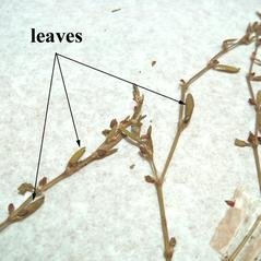 Leaves: Polygonum bellardii. ~  ~ Copyright © 2020. ~