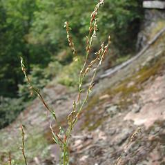 Plant form: Polygonum douglasii. ~ By George Kocur. ~ Copyright © 2021 George Kocur. ~ gkocur[at]alum.mit.edu
