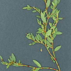 Plant form: Polygonum fowleri. ~ By Glen Mittelhauser. ~ Copyright © 2021 Glen Mittelhauser. ~ www.mainenaturalhistory.org