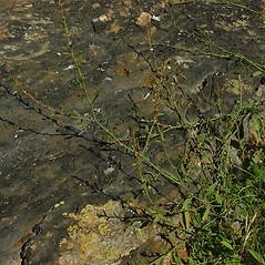 Plant form: Polygonum ramosissimum. ~ By Glen Mittelhauser. ~ Copyright © 2020 Glen Mittelhauser. ~ www.mainenaturalhistory.org
