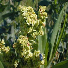 Flowers: Rumex altissimus. ~ By John Hilty. ~ Copyright © 2020 John Hilty. ~ john[at]illinoiswildflowers.info ~ Illinois Wildflowers - www.illinoiswildflowers.info/index.htm