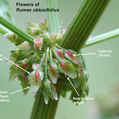 Additional features: Rumex obtusifolius. ~ By Arieh Tal. ~ Copyright © 2020 Arieh Tal. ~ http://botphoto.com/ ~ Arieh Tal - botphoto.com