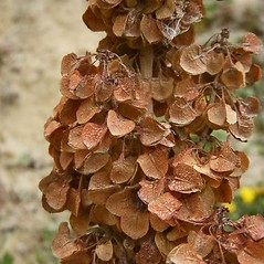 Fruits: Rumex occidentalis. ~ By Neal Kramer. ~ Copyright © 2019 Neal Kramer. ~ kramerbotanical[at]yahoo.com ~ CalPhotos - calphotos.berkeley.edu/flora/