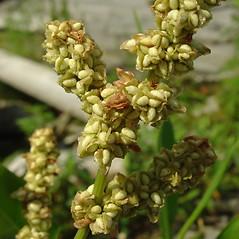 Flowers: Rumex pallidus. ~ By Glen Mittelhauser. ~ Copyright © 2020 Glen Mittelhauser. ~ www.mainenaturalhistory.org