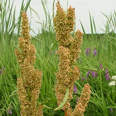 Fruits: Rumex patientia. ~ By Arthur Haines. ~ Copyright © 2020. ~ arthurhaines[at]wildblue.net