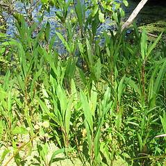 Plant form: Rumex verticillatus. ~ By Jennifer Garrett. ~ Copyright © 2020 Jennifer Garrett. ~ gemmiferg[at]gmail.com