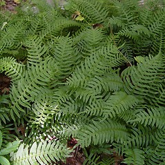 Plant form: Polypodium appalachianum. ~ By Donald Cameron. ~ Copyright © 2020 Donald Cameron. ~ No permission needed for non-commercial uses, with proper credit
