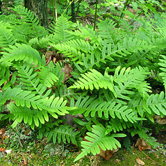 Plant form: Polypodium appalachianum. ~ By Donna Kausen. ~ Copyright © 2021 Donna Kausen. ~ 33 Bears Den, Addison, ME 04606