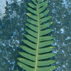 Leaf: Polypodium appalachianum. ~ By Arthur Haines. ~ Copyright © 2021. ~ arthurhaines[at]wildblue.net