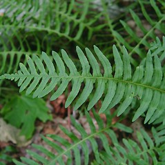 Leaf: Polypodium appalachianum. ~ By Donald Cameron. ~ Copyright © 2020 Donald Cameron. ~ No permission needed for non-commercial uses, with proper credit