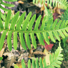 Leaf: Polypodium appalachianum. ~ By Marilee Lovit. ~ Copyright © 2020 Marilee Lovit. ~ lovitm[at]gmail.com