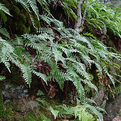 Plant form: Polypodium virginianum. ~ By Arthur Haines. ~ Copyright © 2021. ~ arthurhaines[at]wildblue.net