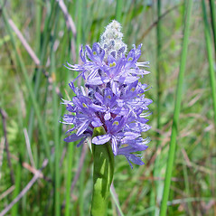 Flowers: Pontederia cordata. ~ By Arthur Haines. ~ Copyright © 2021. ~ arthurhaines[at]wildblue.net