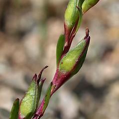 Fruits: Calandrinia ciliata. ~ By Keir Morse. ~ Copyright © 2020 Keir Morse. ~ www.keiriosity.com ~ CalPhotos - calphotos.berkeley.edu/flora/