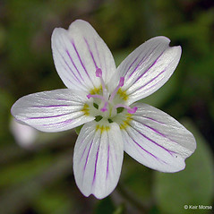 Flowers: Claytonia sibirica. ~ By Keir Morse. ~ Copyright © 2021 Keir Morse. ~ www.keiriosity.com ~ www.keiriosity.com