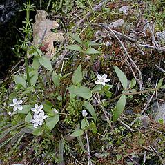 Plant form: Claytonia sibirica. ~ By Keir Morse. ~ Copyright © 2021 Keir Morse. ~ www.keiriosity.com ~ www.keiriosity.com