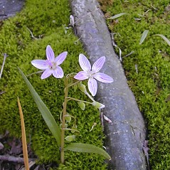 Flowers: Claytonia virginica. ~ By Janet Novak. ~ Copyright © 2020 Janet Novak. ~ Requests for image use not currently accepted by copyright holder ~ Connecticut Botanical Society - www.ct-botanical-society.org/