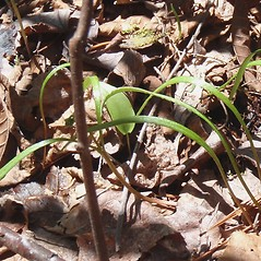 Leaves: Claytonia virginica. ~ By Jennifer Garrett. ~ Copyright © 2020 Jennifer Garrett. ~ gemmiferg[at]gmail.com