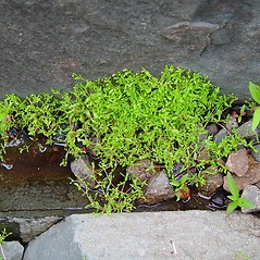 Plant form: Montia fontana. ~ By Arthur Haines. ~ Copyright © 2020. ~ arthurhaines[at]wildblue.net