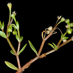 Stems: Montia fontana. ~ By Gerry Carr. ~ Copyright © 2020 Gerry Carr. ~ gdcarr[at]comcast.net ~ Oregon Flora Image Project - www.botany.hawaii.edu/faculty/carr/ofp/ofp_index.htm