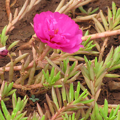 Stems: Portulaca grandiflora. ~ By Kim Starr. ~ Copyright © 2020 CC BY 3.0. ~ starrimages[at]hear.org ~ Plants of Hawaii - www.hear.org/starr/images/?o=plants