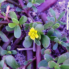 Flowers: Portulaca oleracea. ~ By Arthur Haines. ~ Copyright © 2020. ~ arthurhaines[at]wildblue.net
