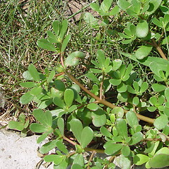 Leaves: Portulaca oleracea. ~ By Arthur Haines. ~ Copyright © 2020. ~ arthurhaines[at]wildblue.net