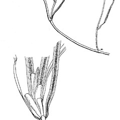 Stems: Potamogeton epihydrus. ~ By Mary Barnes Pomeroy. ~ Copyright © 2020 Estate of Herbert Mason. ~ Any use permitted ~ Mason, HL. 1957. A flora of the Marshes of California. U. of California Press, Berkeley and Los Angeles, Library of Congress number 57-7960