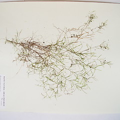 Plant form: Potamogeton foliosus. ~ By Donald Cameron. ~ Copyright © 2021 Donald Cameron. ~ No permission needed for non-commercial uses, with proper credit