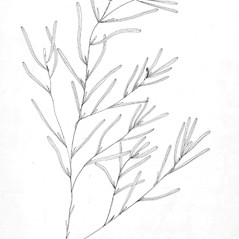 Inflorescences: Potamogeton obtusifolius. ~ By C. Barre Hellquist. ~ Copyright © 2021 C. Barre Hellquist. ~ C.Barre.Hellquist[at]mcla.edu ~ U. of New Hampshire