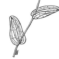 Stems: Potamogeton perfoliatus. ~ By C. Barre Hellquist. ~ Copyright © 2021 C. Barre Hellquist. ~ C.Barre.Hellquist[at]mcla.edu ~ U. of New Hampshire