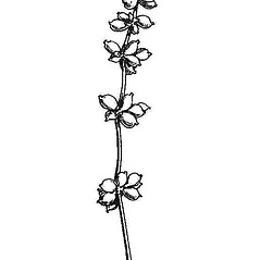 Inflorescences: Stuckenia pectinata. ~ By Mary Barnes Pomeroy. ~ Copyright © 2019 Estate of Herbert Mason. ~ Any use permitted ~ Mason, HL. 1957. A flora of the Marshes of California. U. of California Press, Berkeley and Los Angeles, Library of Congress number 57-7960