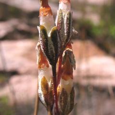 Fruits: Primula laurentiana. ~ By Marilee Lovit. ~ Copyright © 2021 Marilee Lovit. ~ lovitm[at]gmail.com