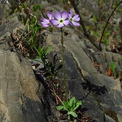Plant form: Primula mistassinica. ~ By Arthur Haines. ~ Copyright © 2021. ~ arthurhaines[at]wildblue.net