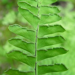 Detail of leaf and/or divisions: Adiantum aleuticum. ~ By Arthur Haines. ~ Copyright © 2021. ~ arthurhaines[at]wildblue.net