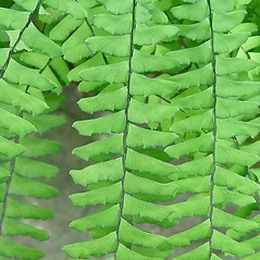 Detail of leaf and/or divisions: Adiantum aleuticum. ~ By Arthur Haines. ~ Copyright © 2019. ~ arthurhaines[at]wildblue.net