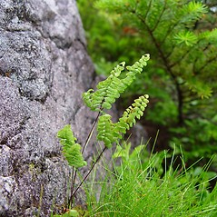 Leaf: Adiantum aleuticum. ~ By Arthur Haines. ~ Copyright © 2020. ~ arthurhaines[at]wildblue.net