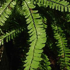 Leaf: Adiantum aleuticum. ~ By Glen Mittelhauser. ~ Copyright © 2020 Glen Mittelhauser. ~ www.mainenaturalhistory.org