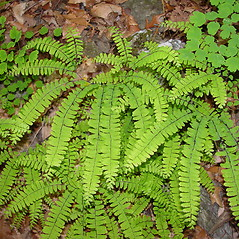 Plant form: Adiantum pedatum. ~ By Arthur Haines. ~ Copyright © 2021. ~ arthurhaines[at]wildblue.net