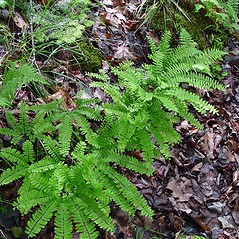 Plant form: Adiantum viridimontanum. ~ By Arthur Haines. ~ Copyright © 2021. ~ arthurhaines[at]wildblue.net