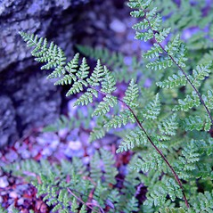 Leaf: Cheilanthes lanosa. ~ By Arthur Haines. ~ Copyright © 2020. ~ arthurhaines[at]wildblue.net