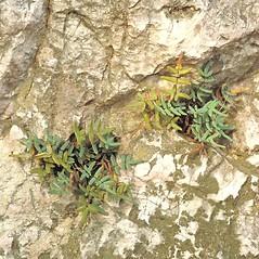 Plant form: Pellaea glabella. ~ By Arieh Tal. ~ Copyright © 2020 Arieh Tal. ~ http://botphoto.com/ ~ Arieh Tal - botphoto.com