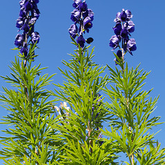 Plant form: Aconitum napellus. ~ By Botanik im Bild. ~ Copyright © 2021 BOTANIK IM BILD, http://flora.nhm-wien.ac.at. ~ No permission needed for non-commercial uses, with proper credit ~ Botanik im Bild - flora.nhm-wien.ac.at