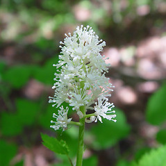 Flowers: Actaea pachypoda. ~ By Arthur Haines. ~ Copyright © 2020. ~ arthurhaines[at]wildblue.net