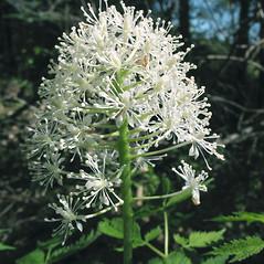 Flowers: Actaea rubra. ~ By Marilee Lovit. ~ Copyright © 2021 Marilee Lovit. ~ lovitm[at]gmail.com