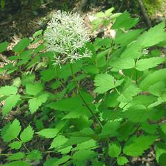 Plant form: Actaea rubra. ~ By Glen Mittelhauser. ~ Copyright © 2021 Glen Mittelhauser. ~ www.mainenaturalhistory.org